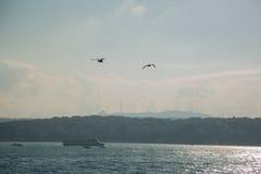 Biały frajer w ostrości na tle miasto i Bosphorus moscie, cieśnina Bosporus Istanbuł, Turcja Obraz Royalty Free