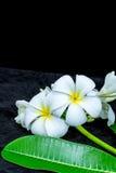 Biały frangipani odizolowywający na czarnym tle Zdjęcie Stock