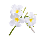 Biały frangipani plumeria kwiat odizolowywający na bielu Obrazy Stock