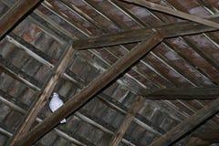 Biały gołąb Zdjęcia Stock