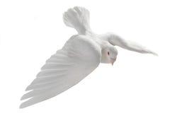 Biały gołąb Zdjęcie Royalty Free