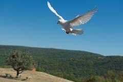 Biały gołąb fotografia stock