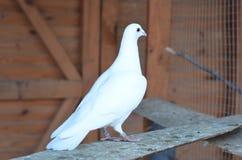Biały gołąb Fotografia Royalty Free