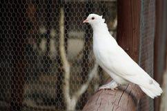 Biały gołąbki obsiadanie na ogrodzeniu Zdjęcia Stock