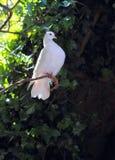 Biały gołąbki tyczenie Obrazy Royalty Free