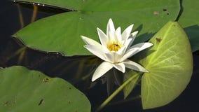 Biały grążel Piękna biała wodna leluja i tropikalni klimaty złote czochr wód powierzchniowych zdjęcie wideo