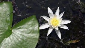 Biały grążel Piękna biała wodna leluja i tropikalni klimaty złote czochr wód powierzchniowych zbiory