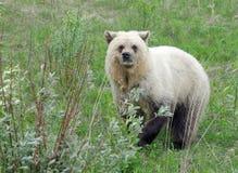 Biały grizzly zdjęcia royalty free