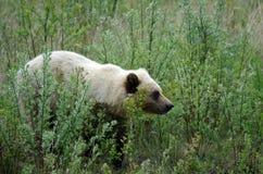 Biały grizzly zdjęcia stock