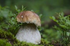 Biały grzyb r w świerkowym lesie na mech liście obraz royalty free