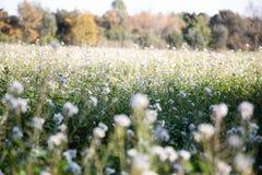 Biały gwałtów kwiatów pola zbliżenie zamazujący zdjęcia stock