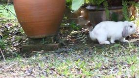 Biały Holland lop królika z beagle zbiory wideo