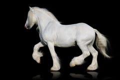 Biały hrabstwo koń odizolowywający na czerni Obraz Royalty Free