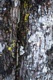 Biały i Żółty darmozjad na drzewie obraz stock