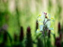 Biały i Żółty Teksas Dziki kwiat Fotografia Royalty Free