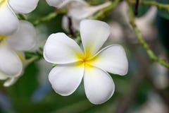 Biały i żółty plumeria kwitnie na drzewie Zdjęcie Royalty Free