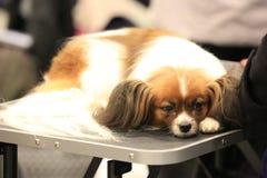 Biały i brown doggy rosjanin zabawki traken kłama na stole zdjęcie stock