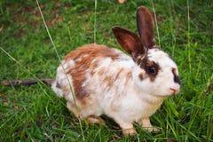 Biały i brown królika obsiadanie w trawie, ono uśmiecha się przy kamerą z zielonym tłem Obraz Royalty Free
