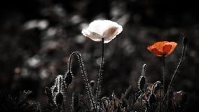 Biały i czerwony maczek na gazonie Pomyślna kombinacja kolory zdjęcie wideo