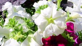 Biały i czerwony petuni tło Naturalny tło 4K zbiory