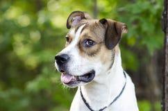 Biały i dębny mieszany trakenu szczeniaka pies, zwierzęcego schronienia zwierzęcia domowego adopci fotografia obraz royalty free