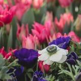 Biały i fiołkowy anemon na różowym tulipanu tle Selekcyjna ostrość Wiosny pocztówki pojęcie obraz royalty free