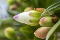 Biały i purpurowy kwiatu pączek z niektóre opuszcza zdjęcia royalty free
