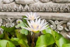 Biały i purpurowy lotos w świątyni Fotografia Royalty Free