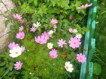 Biały i różowi kwiaty Obrazy Royalty Free