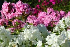 Biały i różowy floksa kwiatu zakończenie up Obraz Royalty Free