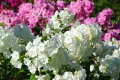 Biały i różowy floksa kwiatu zakończenie up Zdjęcia Stock