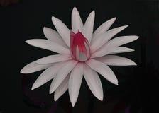 Biały i Różowy lilia Obraz Stock