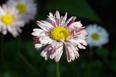 Biały i różowy stokrotka kwiat w ogródzie outdoors w słońcu fotografia royalty free