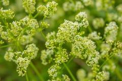 biały i zielony tło z wildflowers Zdjęcie Stock