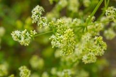 biały i zielony tło z wildflowers Obrazy Stock