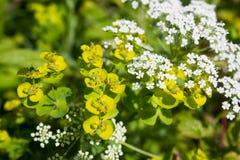 biały i zielony tło z wildflowers Zdjęcia Stock