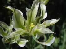 Biały i Zielony tulipan w pełnym kwiacie Obraz Stock
