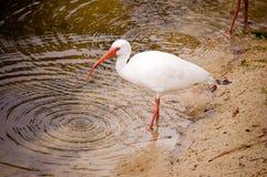 Biały Ibis fotografia royalty free