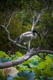 Biały ibis nad gałąź treen w Sydney Obrazy Stock