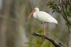 Biały ibis umieszczający w drzewie Obrazy Stock
