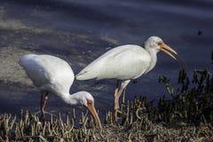 Biały ibis w mangrowe obrazy royalty free
