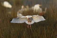 Biały ibisa lądowanie w bagnie - Merritt wyspa rezerwat dzikiej przyrody Fotografia Stock