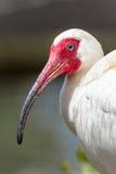 Biały Ibisa Ptaka Głowy Portret Fotografia Stock