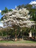 Biały Ipe drzewo obraz stock