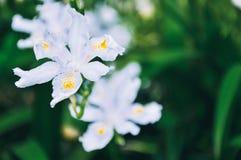 Biały irysowy kwiat w lecie, szczegóły obraz royalty free