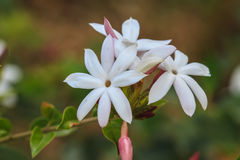 Biały jaśmin kwitnie w ogródzie Obrazy Royalty Free
