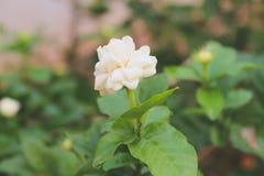 Biały Jaśminowy Kwiat Zdjęcia Stock