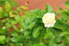 Biały Jaśminowy Kwiat Zdjęcie Stock