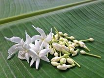 Biały Jaśminowy kwiatu i zieleni tło Zdjęcia Royalty Free