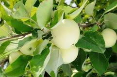 Biały jabłko na drzewie Zdjęcia Royalty Free